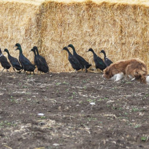 Dog Herding Show