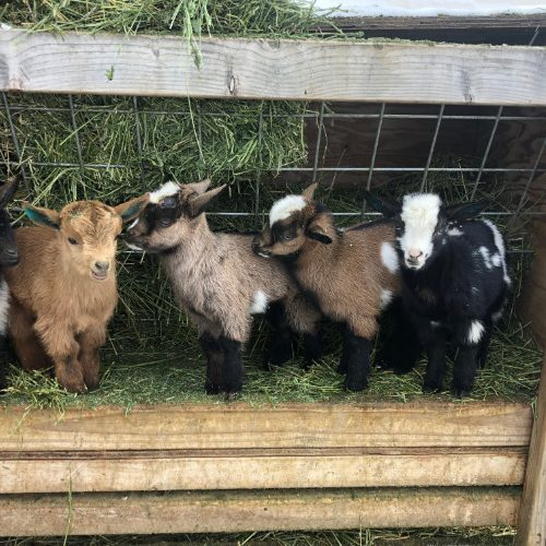 Kids (Baby Goats)
